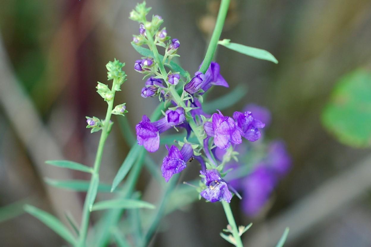 Linaria purpurea 19