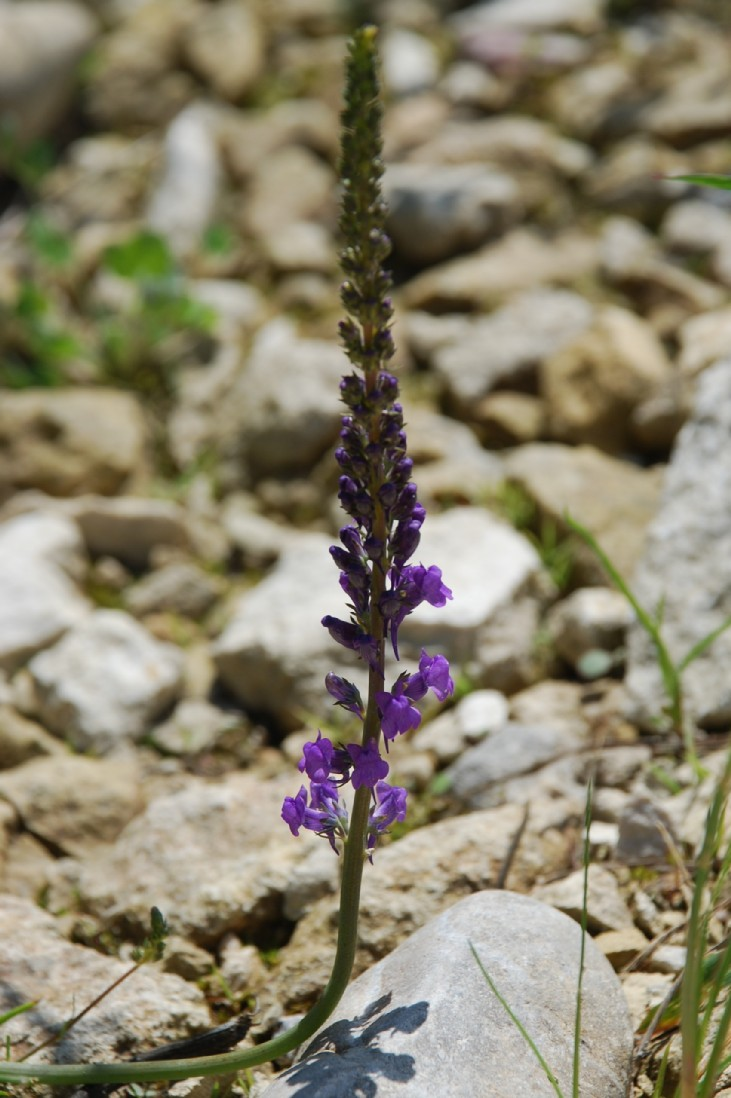 Linaria purpurea 2
