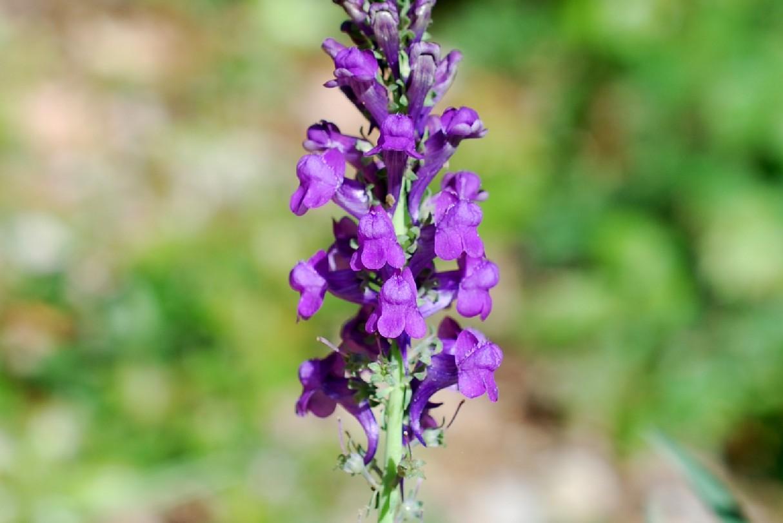 Linaria purpurea 22