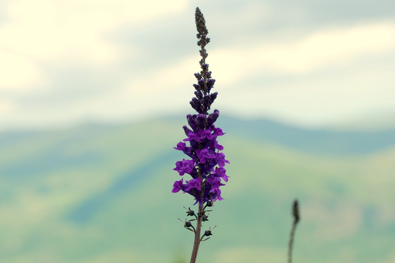 Linaria purpurea 23