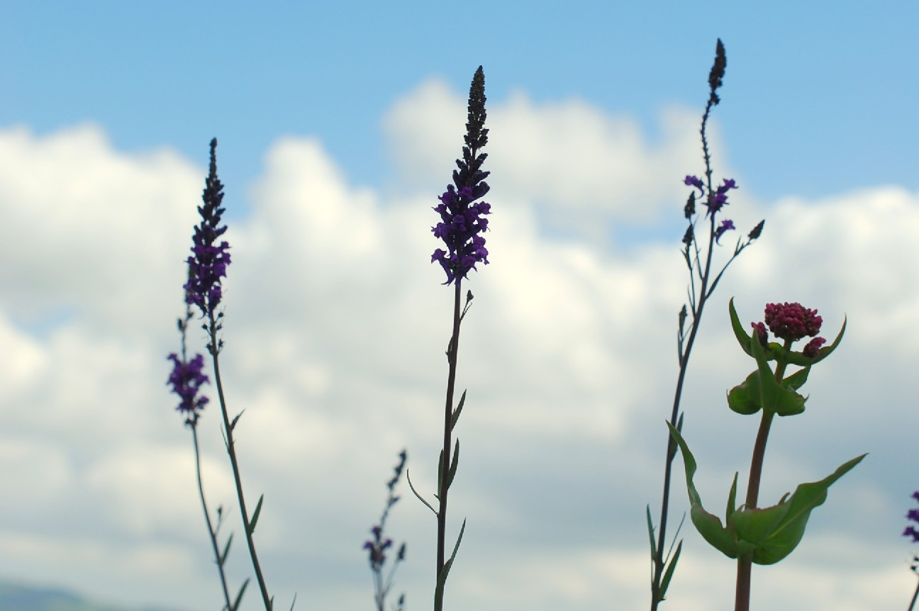 Linaria purpurea 24