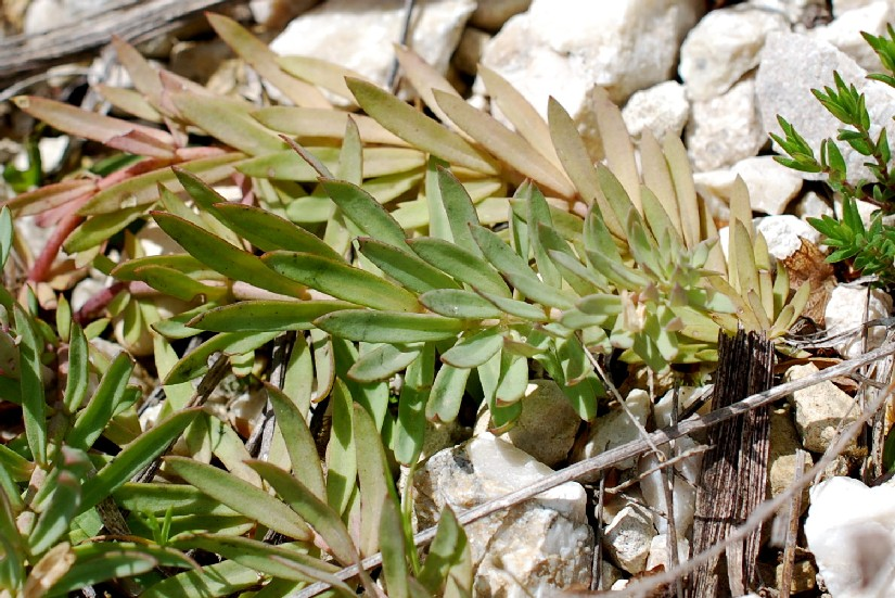 Linaria purpurea 26