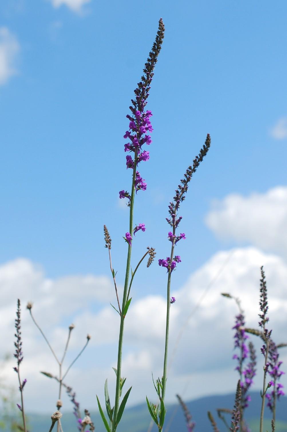 Linaria purpurea 27