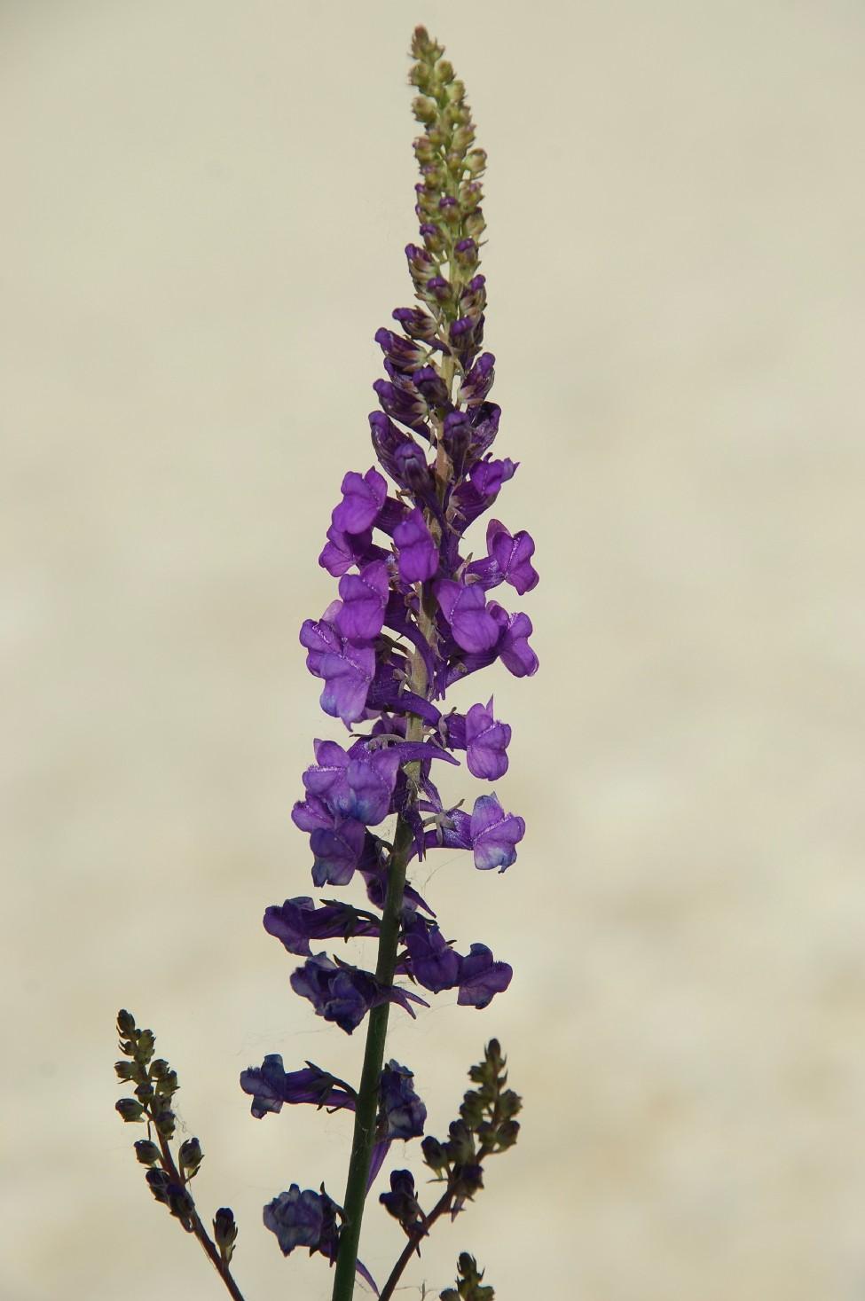 Linaria purpurea 4