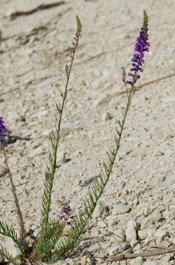 Linaria purpurea 5