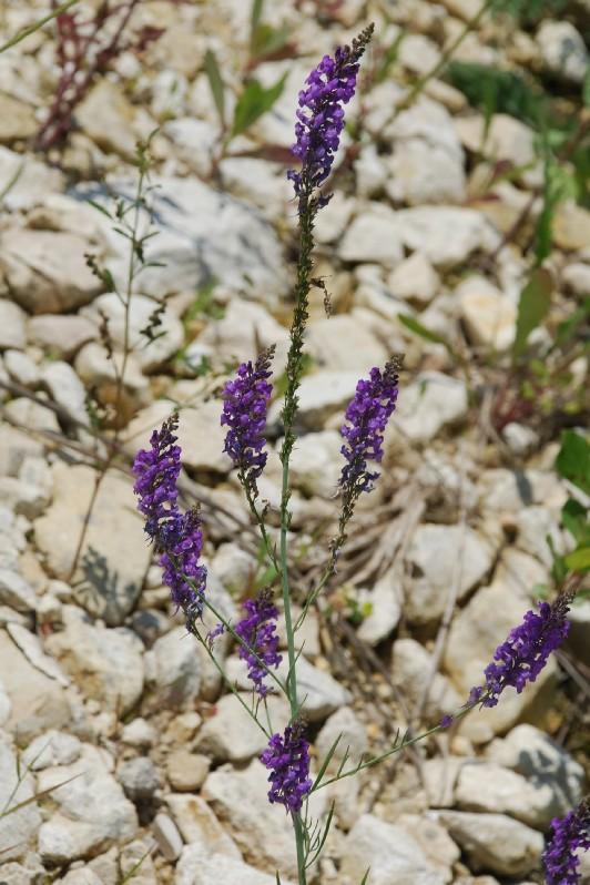 Linaria purpurea 7