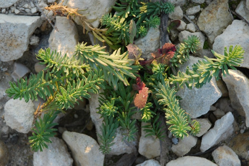 Linaria purpurea 9