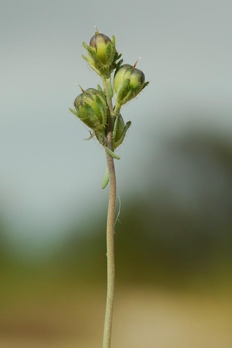 Linaria simplex 6