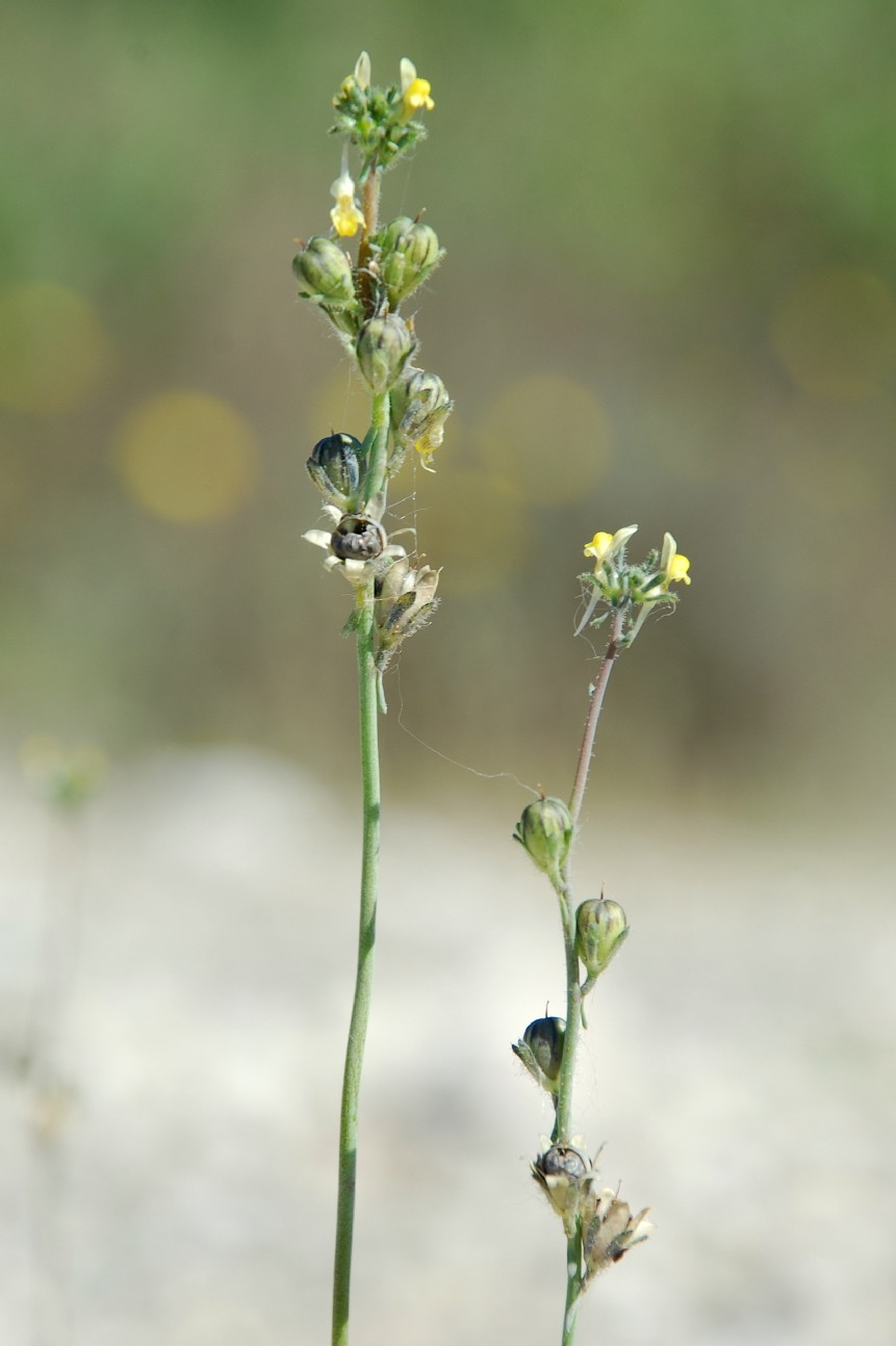 Linaria simplex 8