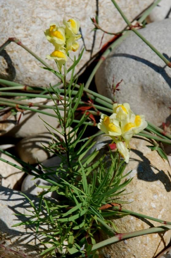 Linaria vulgaris 12