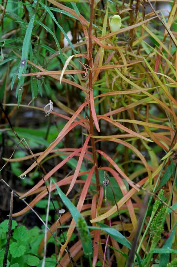 Linaria vulgaris 18