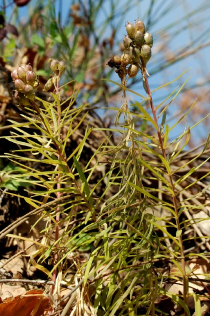 Linaria vulgaris 2
