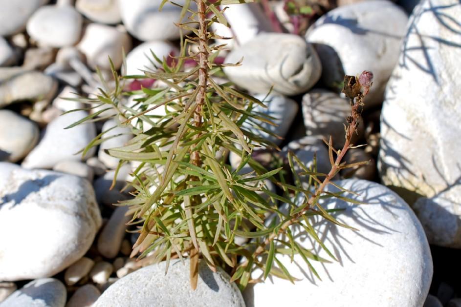 Linaria vulgaris 27