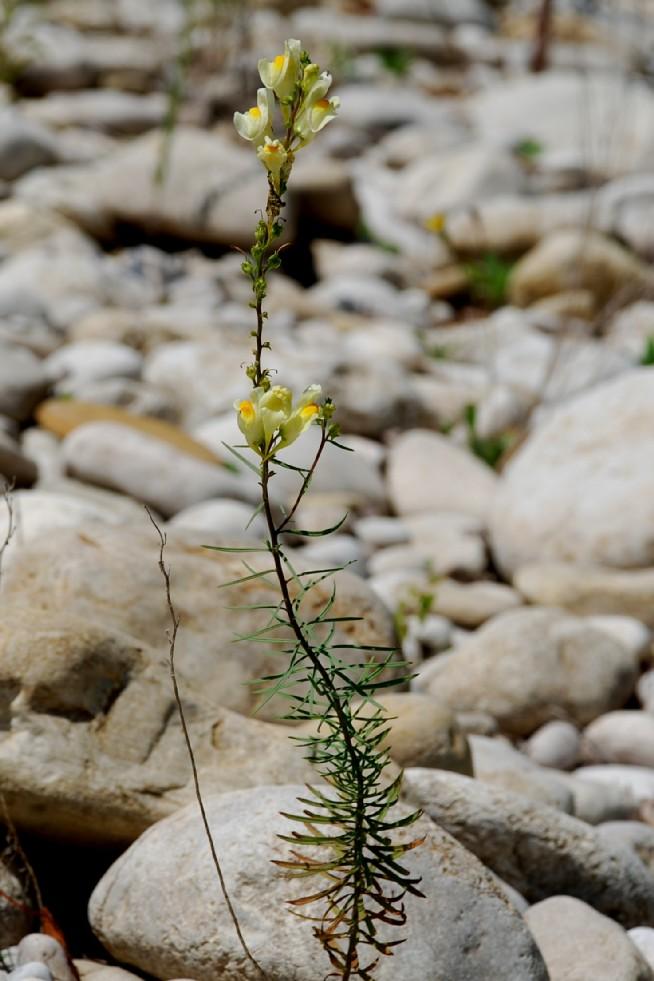 Linaria vulgaris 3