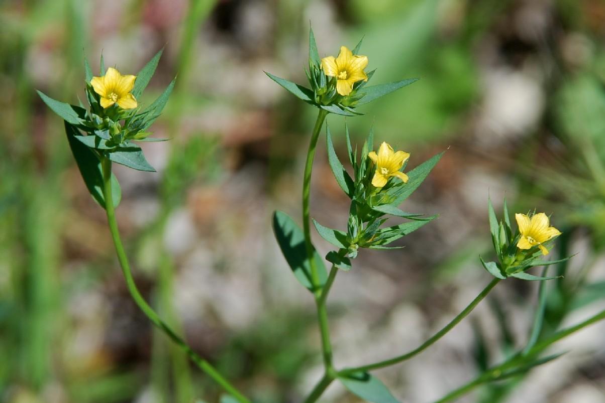 Linum strictum subsp. corymbulosum 10