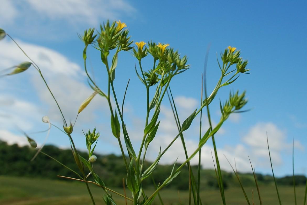 Linum strictum subsp. corymbulosum 11