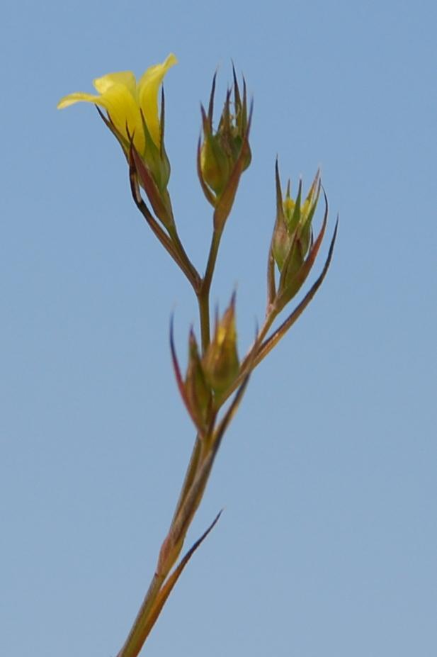 Linum strictum subsp. corymbulosum 4