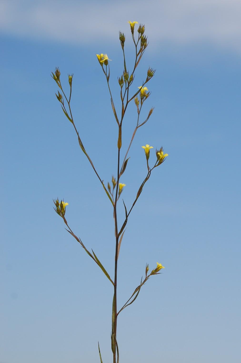 Linum strictum subsp. corymbulosum 5