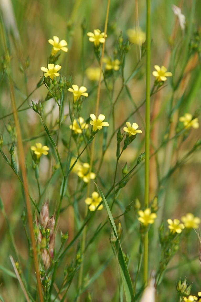 Linum strictum subsp. corymbulosum 6