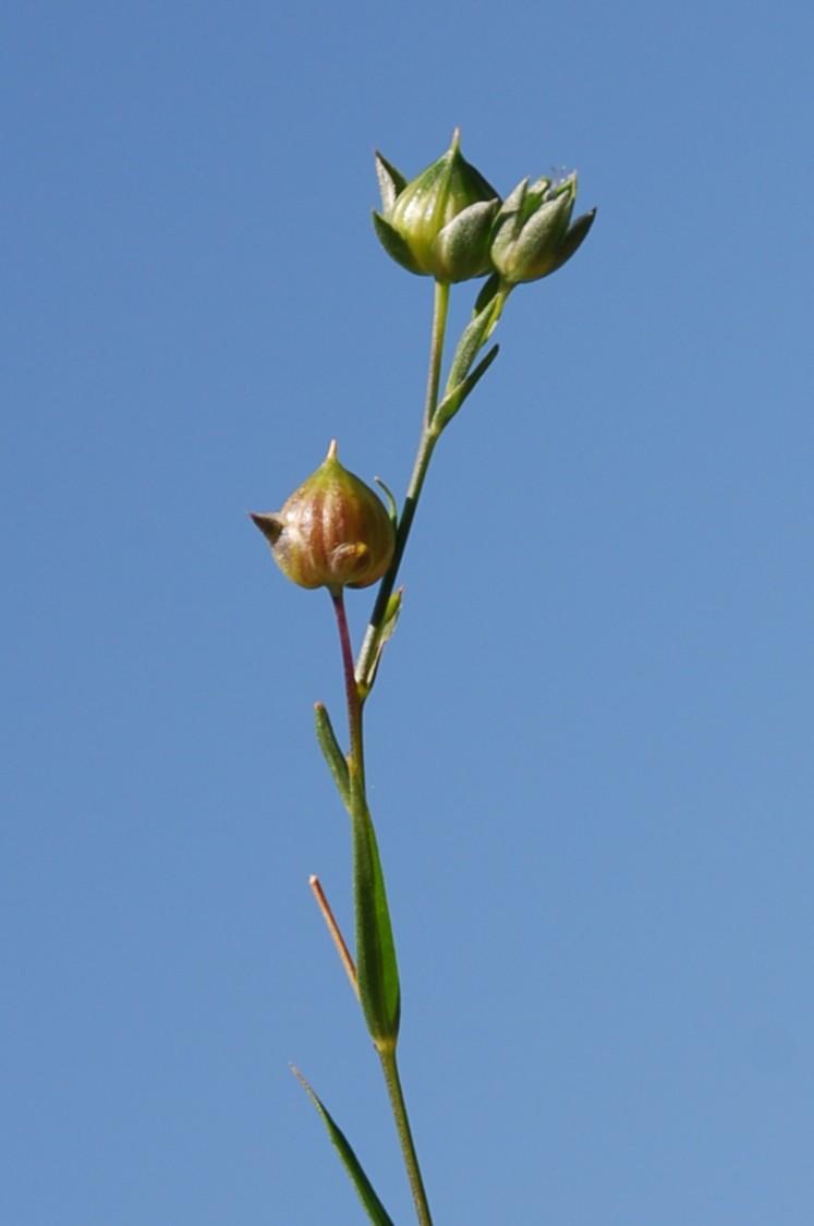 Linum strictum subsp. corymbulosum 9