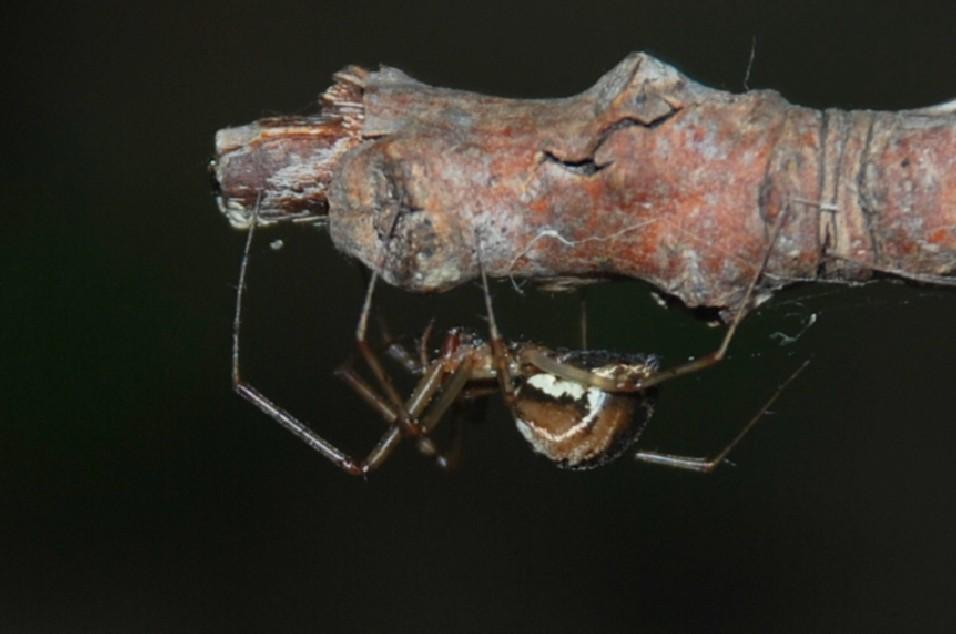 Linyphia sp. - Linyphiidae