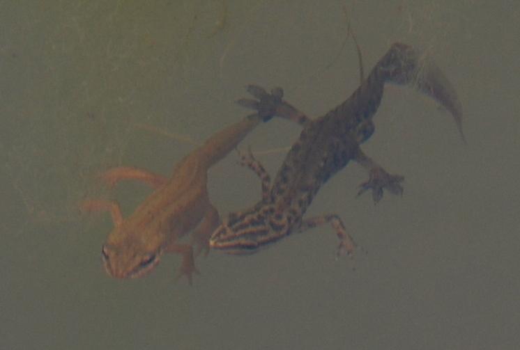 Lissotriton vulgaris - Salamandridae - Tritone punteggiato meridionale