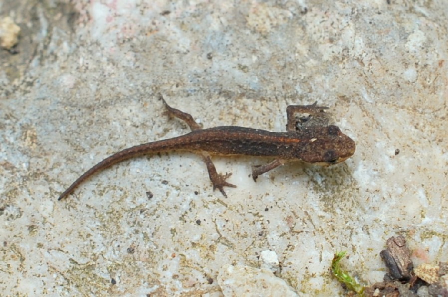 Lissotriton vulgaris - Salamandridae