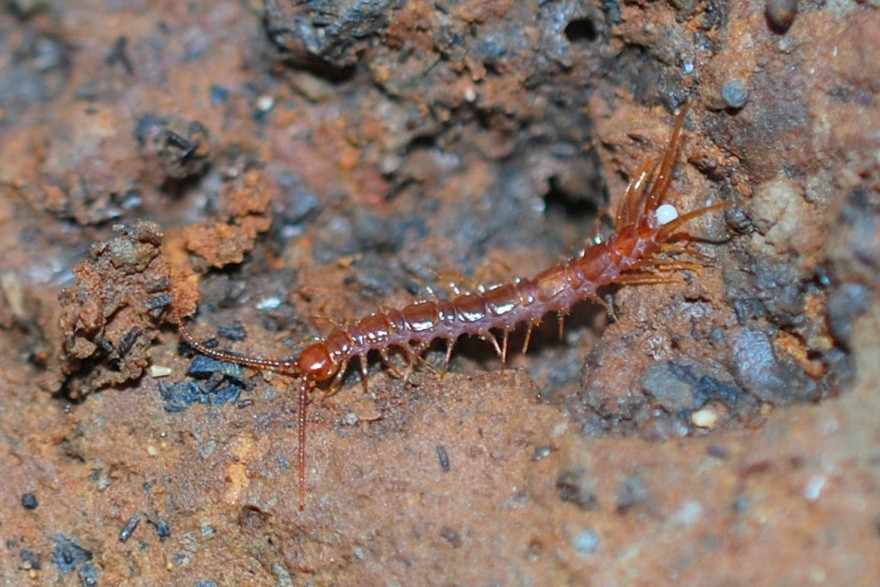 Lithobius sp. - Lithobiidae