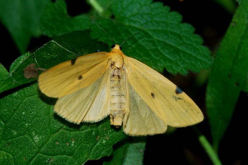 Lithosia quadra - Arctiidae