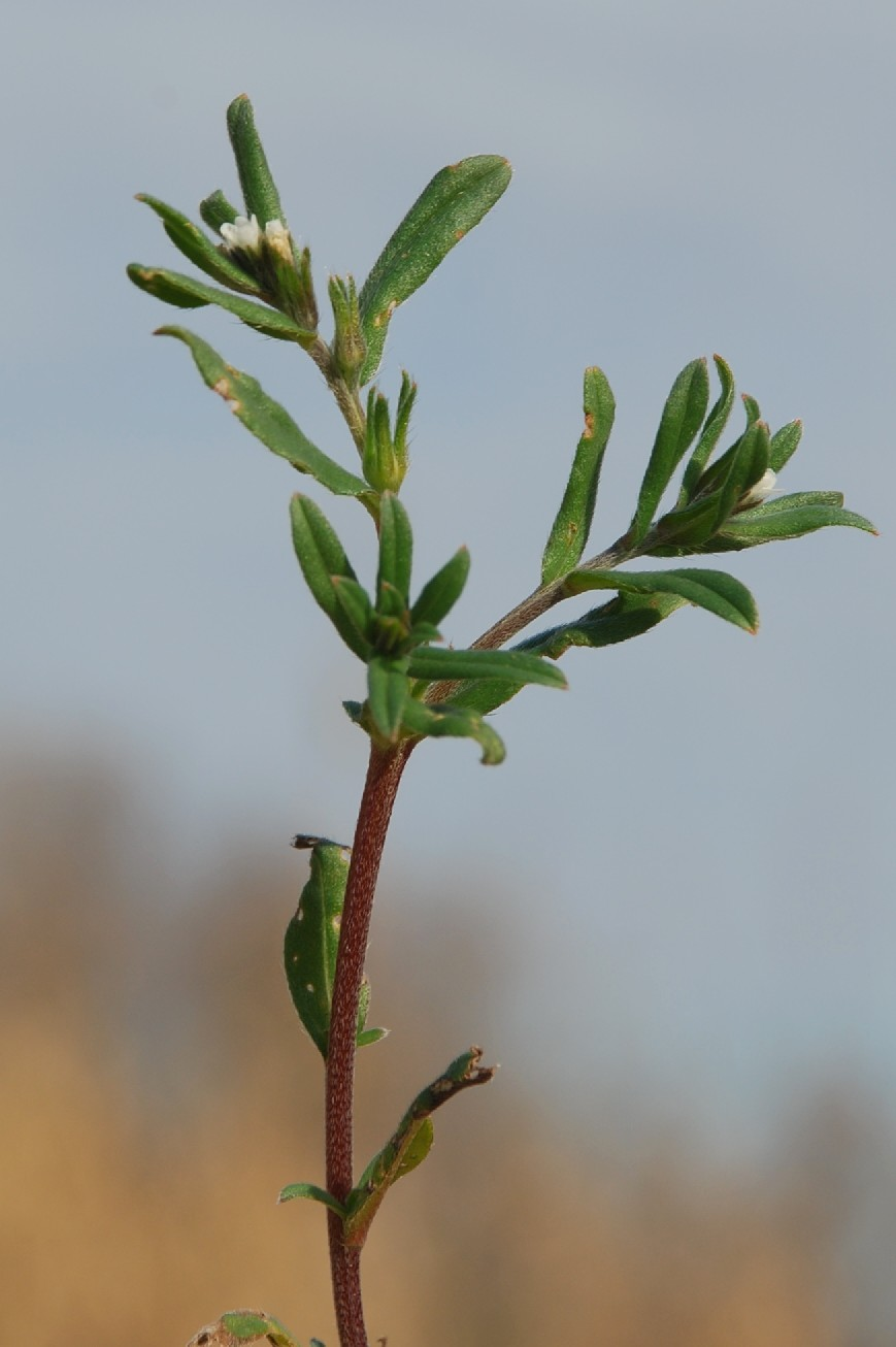 Lithospermum arvense subsp. arvense 7