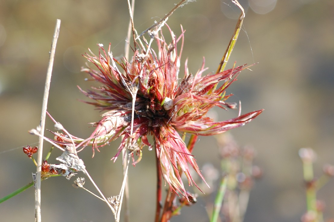 Livia juncorum - Rhynchota, Psyllidae - (Juncus articulatus)