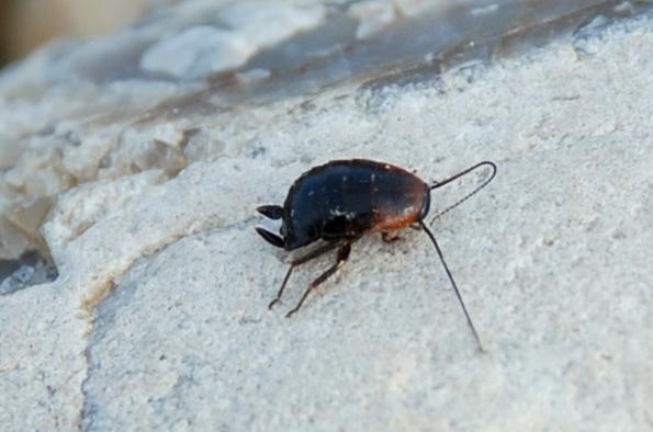Loboptera decipiens - Blattellidae