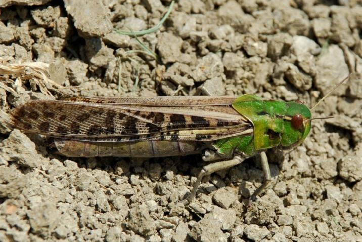Locusta migratoria cinerascens - Acrididae