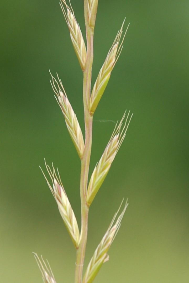 Lolium multiflorum subsp. gaudini 3