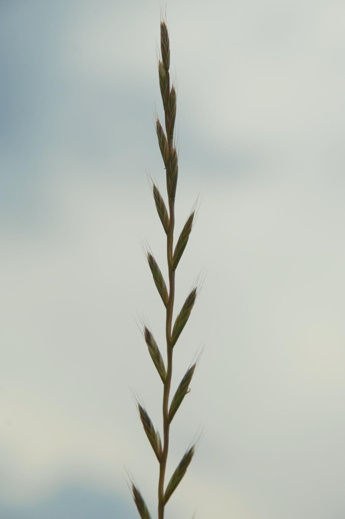 Lolium multiflorum subsp. gaudini 4