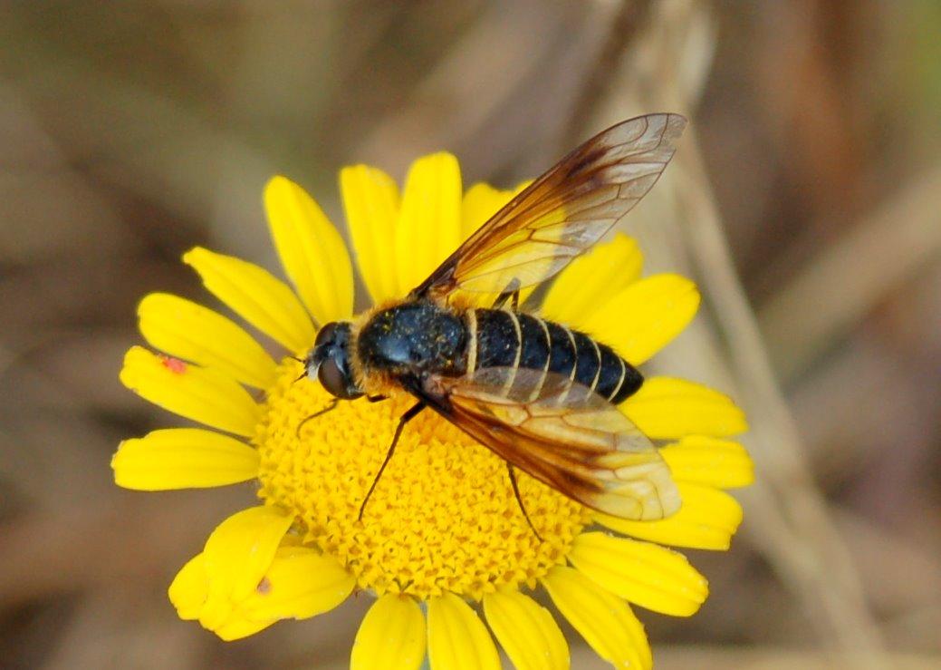 Lomatia sp. - Bombyliidae