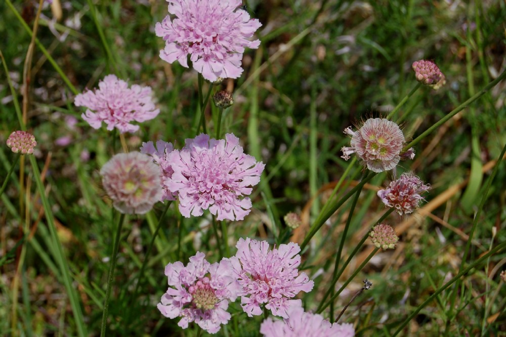 Lomelosia crenata subsp. pseudisetensis