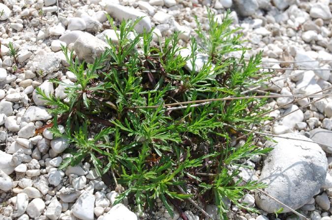 Lomelosia crenata subsp. pseudisetensis 10