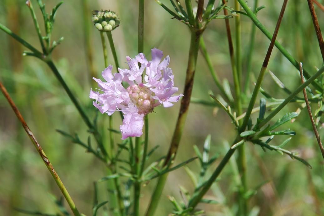 Lomelosia crenata subsp. pseudisetensis 13