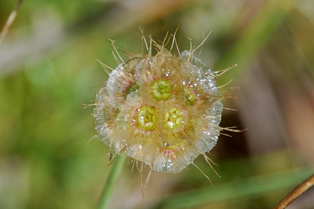 Lomelosia crenata subsp. pseudisetensis 14