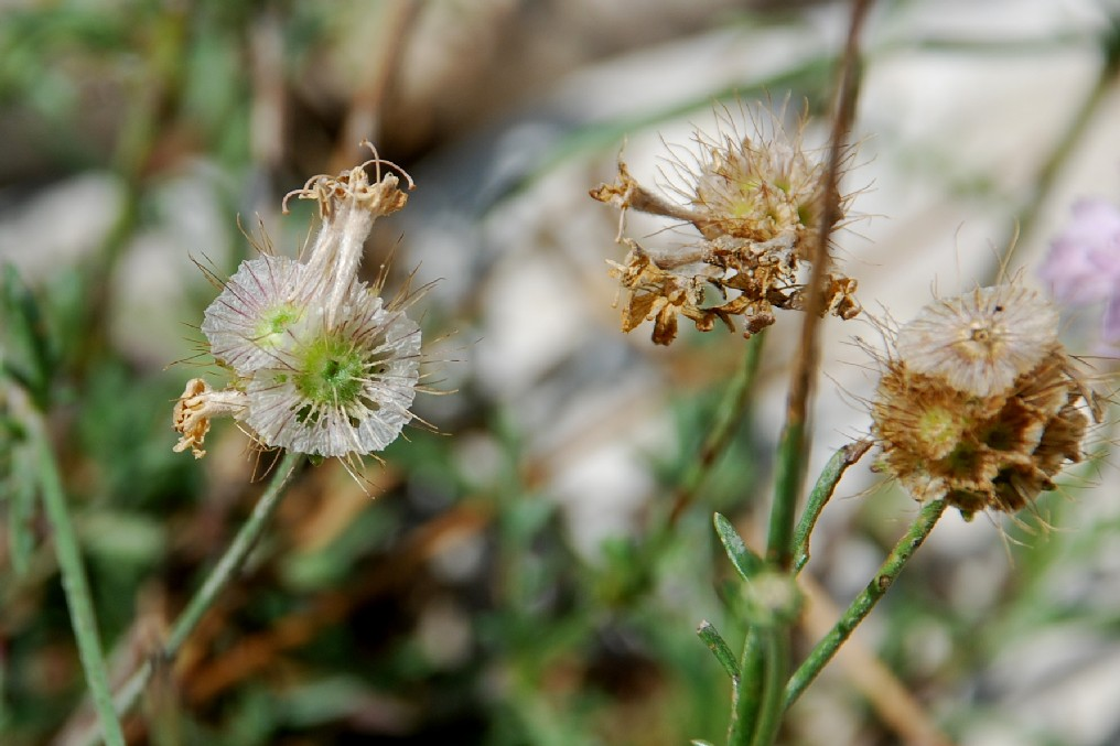 Lomelosia crenata subsp. pseudisetensis 17