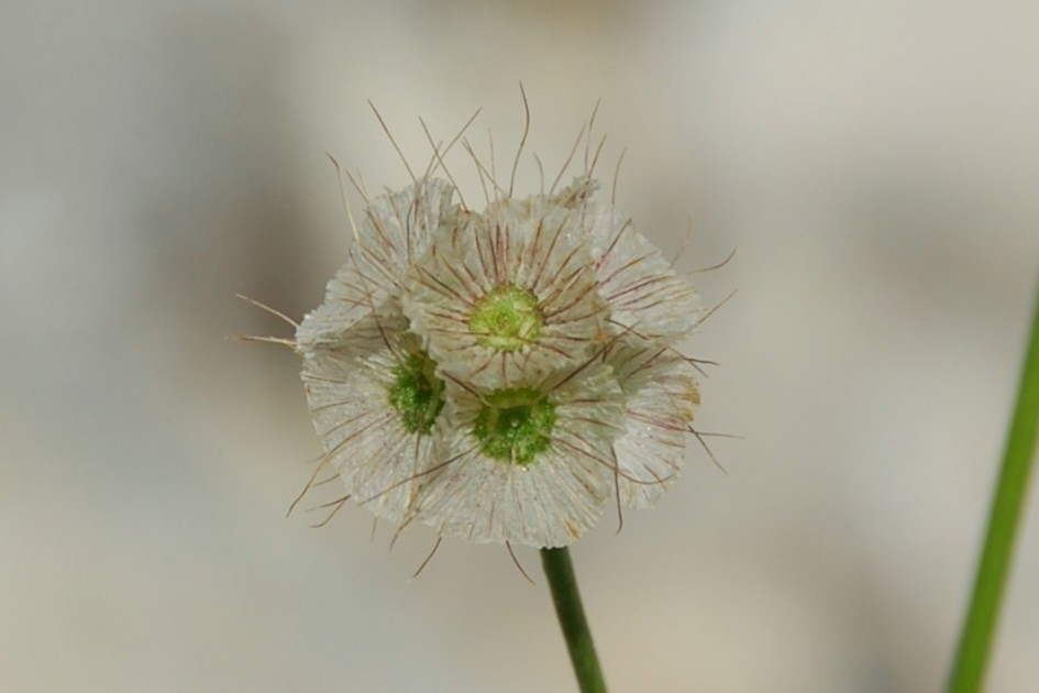Lomelosia crenata subsp. pseudisetensis 19