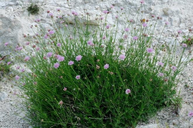 Lomelosia crenata subsp. pseudisetensis 2