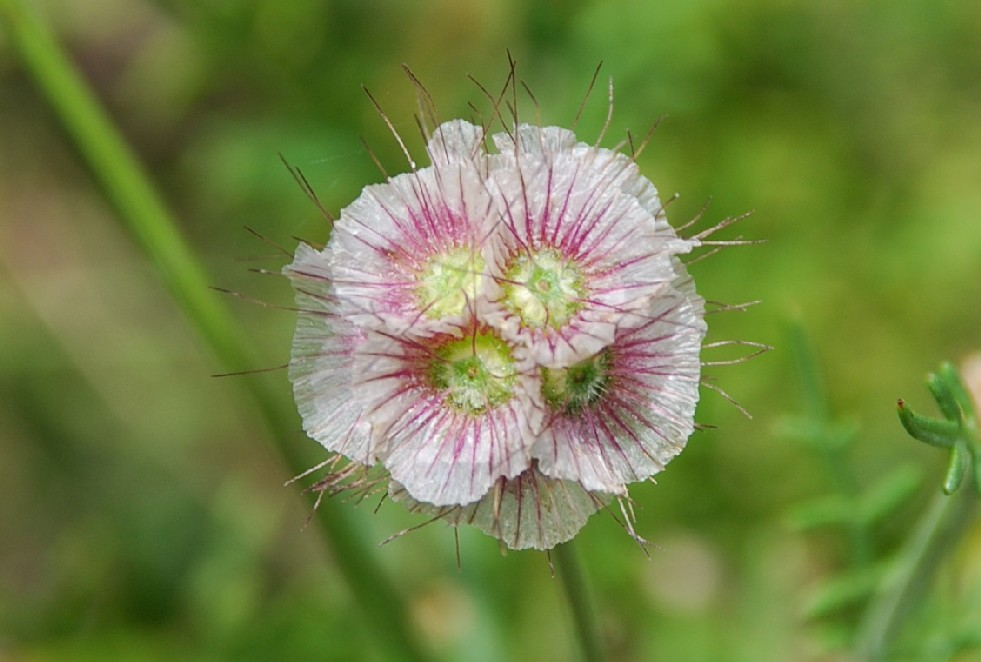 Lomelosia crenata subsp. pseudisetensis 5