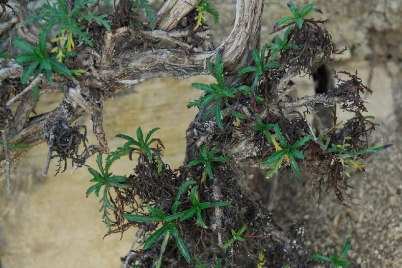 Lomelosia crenata subsp. pseudisetensis 8