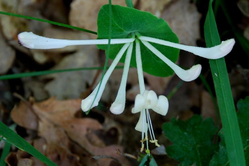 Lonicera caprifolium 15