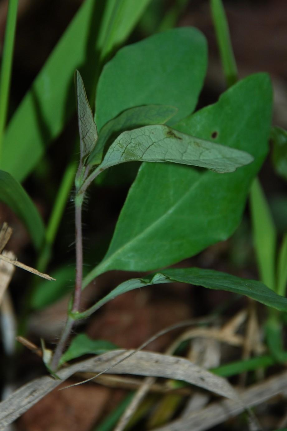Lonicera caprifolium 2