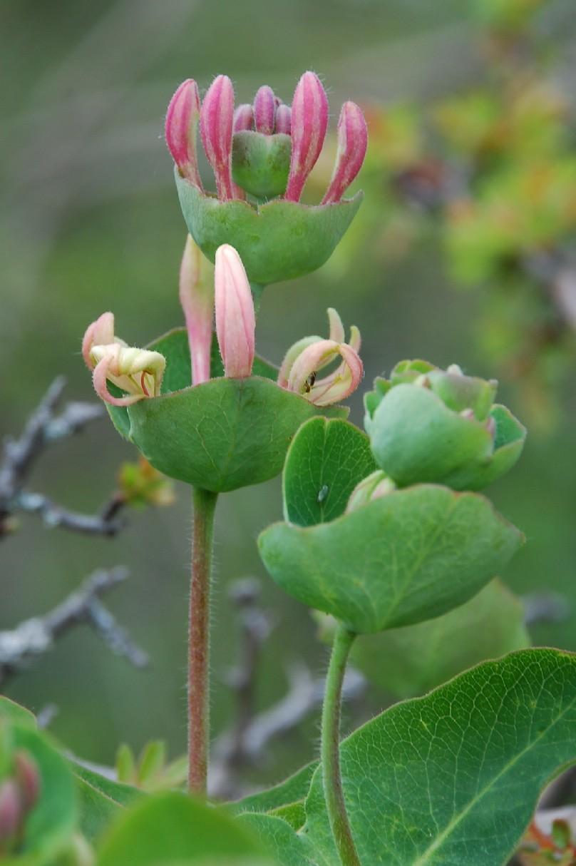 Lonicera caprifolium  9