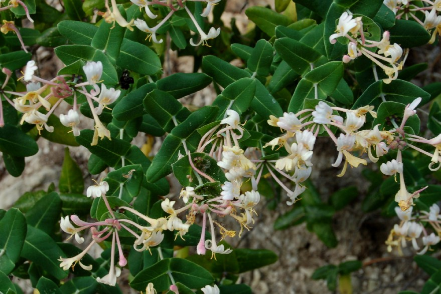 Lonicera implexa 3