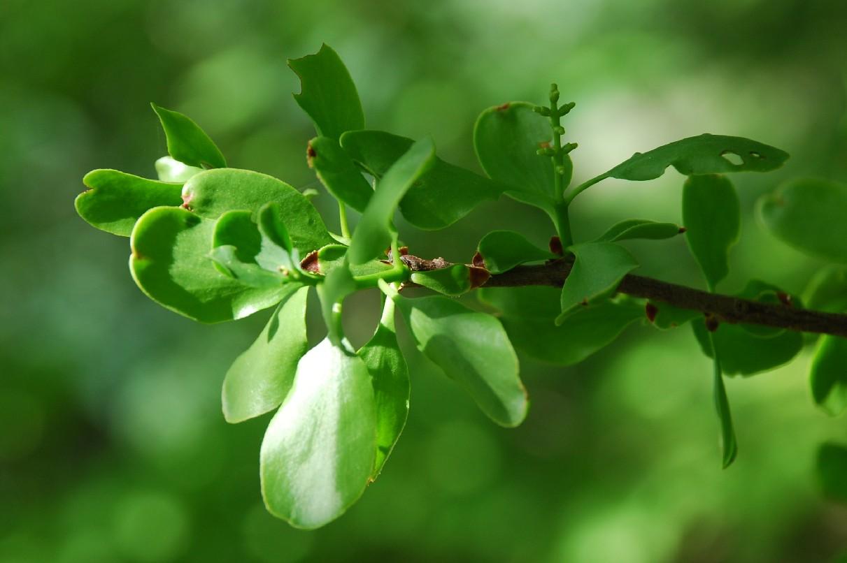 Loranthus europaeus 7